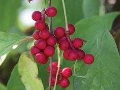 about Schisandra chinensis / Wu Wei Zi / Five Flavor Berry, from Plants for a Future winterharde klimplant,blaadjes,bloemen en bessen eetbaar Permaculture, Wu Wei Zi, Superfoods, Grapevine Growing, Growing Grapes, Eating Raw, Medicinal Herbs, Red Berries, Herbal Medicine