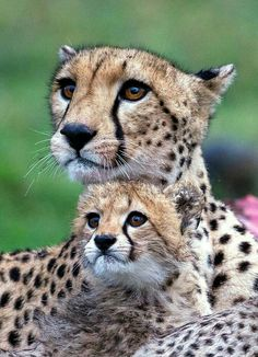 """ Pic .. of , pics . I would love to have a domesticated Cheetah as a pet ! """