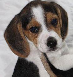 Pocket Beagle Puppie