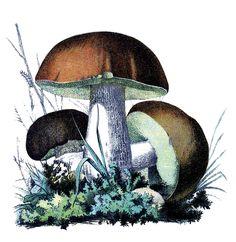 fairies gnomes and mushrooms clip art   Vintage Botanical Graphics - Mushrooms - The Graphics Fairy
