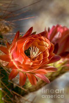 Cactus Bud: See more images at http://robert-bales.artistwebsites.com/