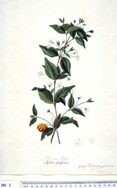 Eugenia Uniflora - click to show image approx. actual size - this image digitally watermarked and copyright NHM
