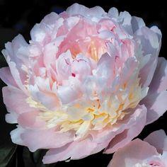Peony 'Eden's Perfume' - Perennial & Biennial Plants - Thompson & Morgan
