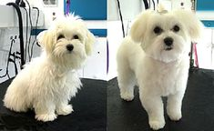maltese puppy cut before and after | Zoe Fans Blo #maltese puppy cut before and after | Zoe Fans Blog