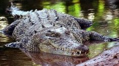 """The Australian Government rejects a call to reinstate the legal """"trophy hunting"""" of Saltwater crocodiles."""