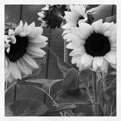 Classic Sunflowers growing in our garden in Cool, CA. Photos by salliescreative (@salliescreative) | Webbygram