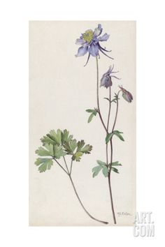 A Painting of a Sprig of Colorado Blue Columbine Giclee Print by Mary E. Eaton at Art.com