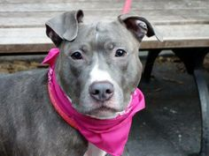 "((SUPER URGENT))12/6/13 Manhattan Ctr -P BEAUTY #A0985563 Female blue & wht pit mix 1YR 7MTHS OWNER SUR 11/21/13 Beauty likes kids/people/dogs. Crate/house trained, walks excitedly on leash. Energetic but obedient, quite friendly. Sits & stays on command, likely house trained. Some guarding w/ food & bones, common w/ strays, retrainable! She would also benefit from some ""doggy socializing"". THIS POOR PUP HAS BEEN DUMPED AFTER 2 MTHS! Beauty needs a loving stable home that she can trust…"