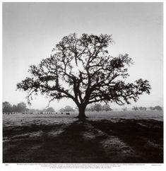 Oak Tree, Sunrise Print by Ansel Adams at Art.com