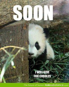 Little panda's tender threat