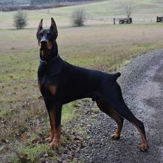 Facing the new year like. American Doberman, Christmas Movies, Dog Lovers, Profile, Face, Animals, User Profile, Animales, Animaux