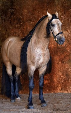 Warlander is a horse of Baroque type, produced by crossing Friesian horses with horses of a purebred registered Iberian horse breed such as the Andalusian, Lusitano, or Menorquina All The Pretty Horses, Beautiful Horses, Animals Beautiful, Andalusian Horse, Buckskin Horses, Palomino, Majestic Horse, All About Horses, Friesian