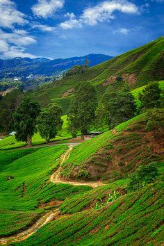 ~Tea fields, Cameron Highlands, Malaysia~