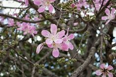 """""""... Isso é o que me faz dizer que vejo flores em você ..."""" Eu vejo Flores em Você - Ira  #naturelove #naturephotography #natureporn #naturepics #nature #flowerstagram #flowers #flowersporn #tree_captures #outdoors #flores #natureza #piri #vemprapiri #Pirenopolis #goiasémais #travelphotography #travel #travelgram #brazil #colorful  #pink"""