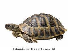 Free art print of Curious Green sea turtle   FreeArt   fa3769274