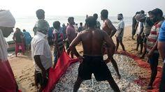 Dragnet fishing of Anchovy. In Mahabalipuram, Bay of Bengal, Tamil Nadu, India.
