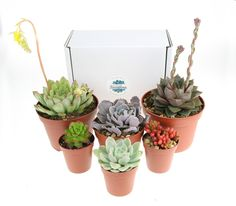 6 x Mixed Size Succulent Plant Selection - The Art of Succulents All Plants, Potted Plants, Indoor Plants, Indoor Outdoor, Succulent Soil, Planting Succulents, Selection Boxes, The Selection, Terrarium Plants