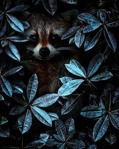 Encuentra al mapachito