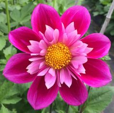 Dahlia 'Lynn T' Unusual Flowers, Wonderful Flowers, Beautiful Flowers Garden, Rare Flowers, Flowers Nature, Beautiful Roses, Pretty Flowers, Rose Flower Pictures, Flower Images