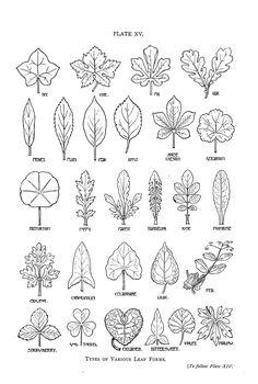 http://vintageprintable.com/wordpress/wp-content/uploads/2012/05/Botanical%20-%20Leaf%20-%20shapes.jpg