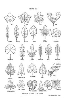 http://vintageprintable.com/wordpress/wp-content/uploads/2012/05/Botanical%20-%20Leaf%20-%20shapes.jpg