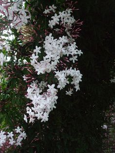 Jasmine - Jasmine is one of my favorite herbs. :))) I love the smell of it. It's a climbing herb which leads to some nice options for putting this herb around the yard. It has beautiful white or yellow flowers during the summertime. It's an evergreen plant and can be grown quite successfully indoors. This plant likes bright light, but not direct sunlight.