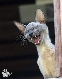 Funny animal jokes for kids Animals And Pets, Funny Animals, Cute Animals, Siamese Cats, Cats And Kittens, Kitty Cats, Cute Cats, Funny Cats, Funny Humor