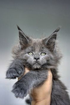 Maine Coon of Superbia - Suberbias C-Kitten - Superbias Cascada http://www.mainecoonguide.com/what-is-the-average-maine-coon-lifespan/