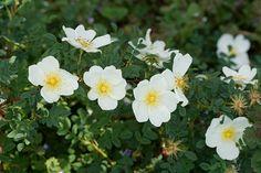 Dunwich Rose,   1956, löydetty hiekkadyyneiltä Dunwichistä, Suffolkista, Britanniasta      Erittäin matala (80 cm korkea), leveäkasvuinen, pienilehtinen pensas. Ruusu kukkii runsaasti erittäin aikaisin. Kukat yksinkertaisia, kermanvalkoisia, koristeelliset keltaiset heteet.