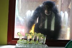 """photos from the 4th anniversary celebration at Chimpanzee Sanctuary Northwest, which included """"margaritas"""" for the chimps. That's Burrito looking through the window at the drinks."""