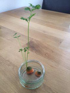 Het werkt echt! Een topje van mijn wortels op water gezet en het loof groeit terug.