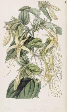 Macromeria exserta. Long-stamened Macromeria. Edwards's Botanical Register, vol.33- t.26 (1847) [S. A. Drake]