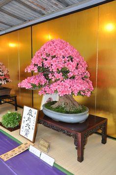 Satsuki festival at Ueno, Tokyo. Pre Bonsai, Indoor Bonsai Tree, Bonsai Art, Bonsai Plants, Bonsai Garden, Ikebana, Bonsai Azalea, Bougainvillea Bonsai, Landscaping