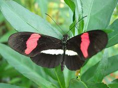 La proporción áurea y las mariposas.   Matemolivares