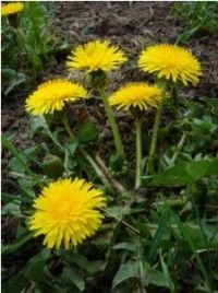 """Dandelion root and leaf, burdock, sarsaparilla, and rose petals : my """"get healthy """" blend for liver, kidneys and skin. Healing Herbs, Medicinal Herbs, Herbs For Health, Edible Plants, Health Advice, Permaculture, Get Healthy, Natural Health, Health And Beauty"""