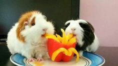 "Two piggies on the Guinea Pig Fun Facebook page having piggy ""fries."" This is awesome."