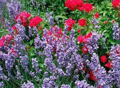 Pflanzen sind Lebewesen und fest in der Schöpfung verankert. Aus diesem Gedanken heraus ist es für Kräuterpfarrer Benedikt Felsinger nur logisch, dass sich Kräuter und Pflanzen auch gegenseitig schützen können.  #kräuter #kräuterwissen #natürlicheschädlingsbekämpfung #kräuterpfarrer #garten Growing Lavender, Growing Flowers, Planting Flowers, Lavender Blossoms, Lavender Flowers, Lavender Plants, Sun Loving Plants, Big Plants, Light Purple Flowers