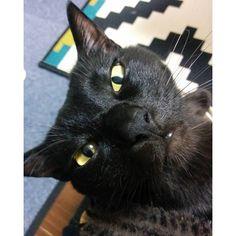 2016.2.18 猫の挨拶、鼻チュー 琥珀は更に大胆に、私の鼻の穴にグイグイきて嗅ぐのですが、これってフツーなのでしょうか。。。 * #猫 #黒猫 #黒猫同盟 #黒猫部金目班 #cat #blackcat #catsofinstagram #instacat #ilovecats #catstagram #nnn黒猫支部諜報員 #黒猫の琥珀kohakublackcat2016/02/18 08:00:59
