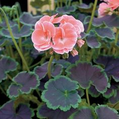 Geranium Black Velvet Salmon Hybrid in The Big Seed Book from Park Seed on shop.CatalogSpree.com, my personal digital mall.