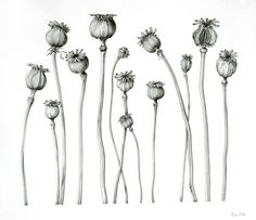 Seed: A source or beginning; a germ.  'Poppy seed pods'.     Botanical illustration  (http://www.suevize.com/)