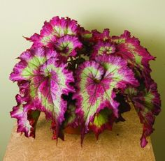 Begonia -Raspberry Torte-  so vibrant!  Big statement plant!