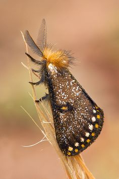 Epicoma Moth <3
