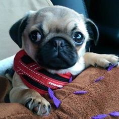 This is me on the school run a year ago today - look no wrinkles!!!  #tbt #purepugspp #pug #pugs #pugsofinstagram #pugbasement #pugsproud_feature #badasspugclub #bubblebeccahat #cupcake_pug #dailydoseofpugs #eddthepug #flatnosedogsociety #gilesfriends #heyportiapickme #henrys1inamillion #itslolathepug #lolasfotw #lacyandpaws #mysquishyliciousfriends #puglife #speakpug #squishyfacecrew #thetomcoteshow #zerozeropug by alfiethepug_beat