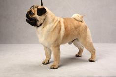 JJ the Pug. JJ, registered as Hill Countrys Tag Im It, is owned by Carolyn Koch. (Fred R. Conrad, a New York Times photographer, set up a studio at the 2013 Westminster Kennel Club dog show and invited Best of Breed winners to pose.)
