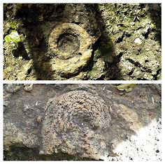 AMMONITES. The ammonites were marine crustacean, distinguished by their complex suture lines. They lived around 340 millions years ago. After a decline in their diversity during the Late Cretaceous, the ammonites became extinct. . By M.J. Sosa - 2ºESO A