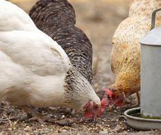 Tavuklara kısıtlı yem vermek doğru mudur?