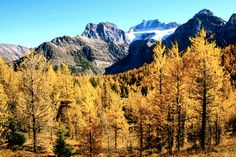 Larch trees, autumn in Canada