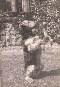 20's Airedale Terrier