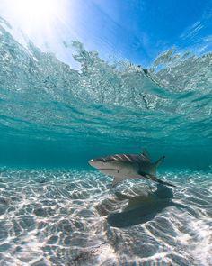 Shark/requin/tiburon