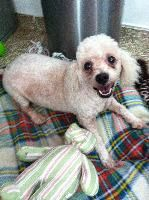 Gino is an adoptable Poodle Dog in Fort Lauderdale, FL. Gino is a super nice, friendly and well mannered bichon/poodle mix male dog. He was found as a stray and had not been taken care of for quite aw...